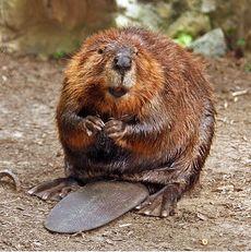 beaver hibernate