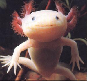 axolotl as pets